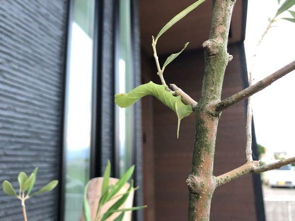 幼虫の名前 この子は成長したら何の蝶、または蛾になりますか?