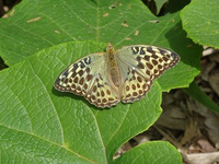 この蝶は何というのでしょうか?