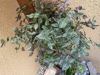観葉植物  名前を教えてください。 ホームセンターの店内で販売されていたので観葉植物だと思います。  ピンクパープルの様なカラーが入っていて可愛いくて購入しました。 今は外の日陰の玄関前にありますが、やはり 室内用でしょうか?