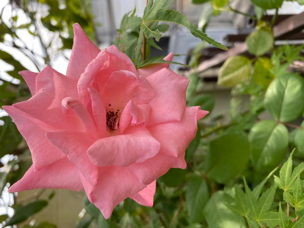 実家の庭で咲いていました。去年亡くなった父が植えてたのだと思います。この薔薇の名前を教えて下さい。長く伸びた枝先に一つだけ咲いていました。