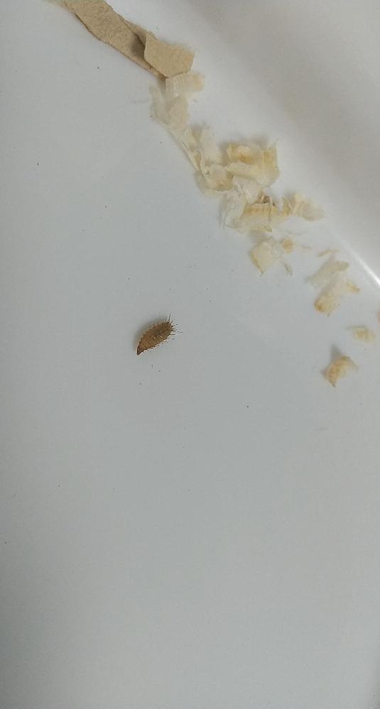 この虫についてどなたでもいいので知っている方いませんか? くねくねと動いており、たくさんの毛みたいなもので体が覆われています。 先程ハムスターのケージの掃除をしたら出てきました。回答お願いします。