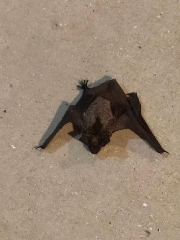 マンションの廊下にいました。このコウモリの種類を教えてください。