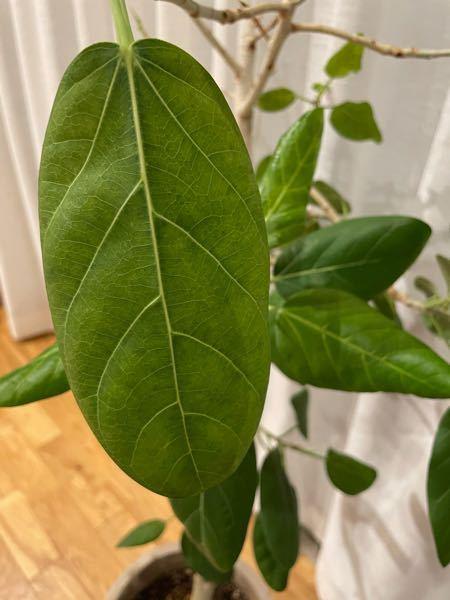 ゴムの木(フィカス)の元気がありません。 最近まで元気に育っておりましたが、ここ1週間で急に葉が落ち始め、残り1/3ほどになってしまいました。 葉が色褪せ、ポトリと落ちます。 これまでにも落ちることはありましたが、短期間でごっそり落ちることはなく困惑しております。 思いたる節としては、1週間ほど前からエアコンをつけ始めたことが考えられます。 設定温度は26〜27度、風は弱いものの直接当たる位置にあったため今は場所を変えております。 以下、その他の特徴です。 ・3年前に購入。高さは150センチほど。 ・置き場は年間通じてレース越しの光があたる位置。 ・1年前に植え替え済み。 ・水やりは土の表面が乾いたらたっぷりと。(だいたい1週間〜10日間) お気付きの点がありましたら助言いただけますと有難いです。 よろしくお願いします。