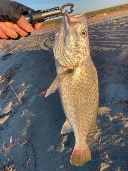 これ何の魚ですか?