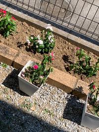 ニチニチソウが絶望しています。  昨日ニチニチソウを20株ほどカゴで頂き、夜に水をあげて朝起きたら既にカゴの両端からしなびていました。 花壇に植え替えたら、全部しなびました。 ニチニチソウは根を傷つけてはいけないとネットで見たので、カップから外してほぐしたりせずそのまま植え付けました。  どうしたら復活しますか? 湿気にやられたのかもと思い、植え替えてから水はあげていません。 ...
