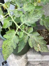 ミニトマトの葉が黒ずんできました。 ミニトマトの葉が黒ずんできて、どんどん広がっているのですがこれは何かの病気でしょうか?  それとも古い葉はこんな風になるのでしょうか?  お詳しい方教えてくださいお願い致します。