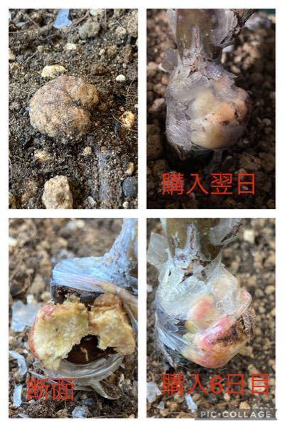 これはガン種でしょうか。 通販で購入したバラの苗なのですが接木部分の他にも表面にある根っこ(画像左上大きさ1cm弱)と根の付け根付近にも5mm程の瘤があります。