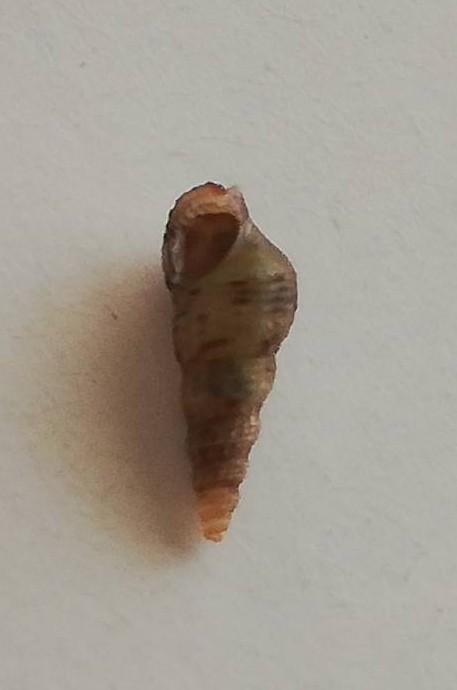 この貝は何ですか? 熱帯魚の水槽に、知らぬ間に大量発生します。 産卵時でしょうか、卵白のような幕が水面に広がり、気持ち悪いです。 対処法ご存知でしたら、教えて下さい。
