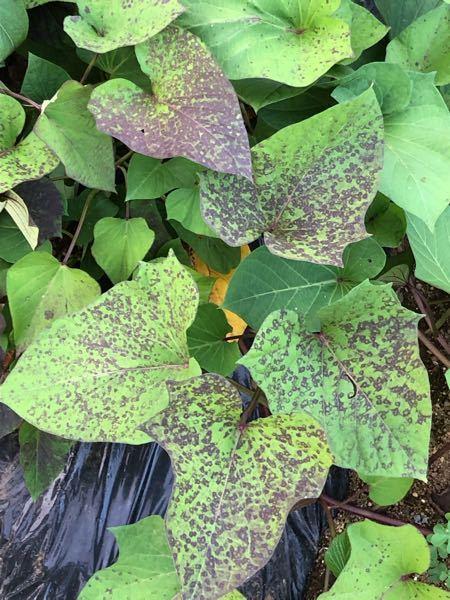 さつまいもの葉が写真のようになってきました。 何かの病気でしょうか?
