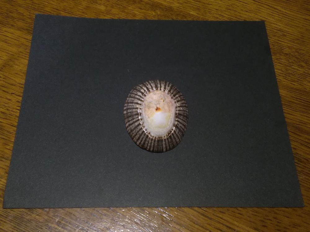 この貝の種類、分かりますか?。 三重県伊勢市二見の二見浦で次女が拾って来ました貝です。 この貝の種類を教えて下さい。 よろしくお願いします。