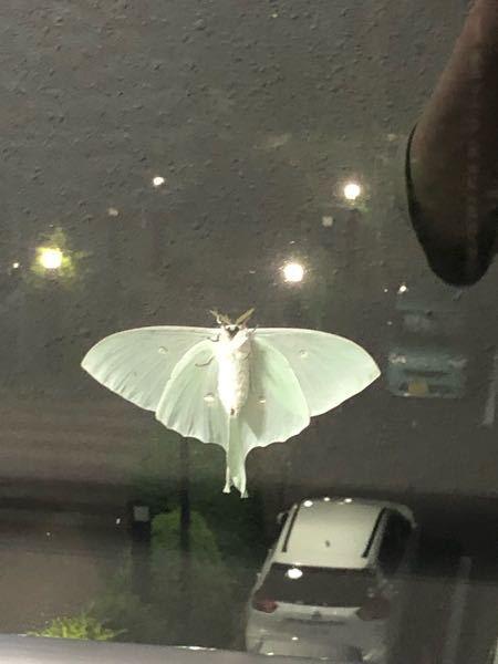 ※画像閲覧注意です!これなんて言う蛾かわかるかたいらっしゃいますか、めちゃくちゃ大きくて 横幅羽根入れて15センチはあったと思います。