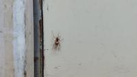 このクモの名前を教えて下さい! 初めて見るクモで、調べてもよくわかりませんでした アプリではクサグモと出たのですが、他のクサグモの写真とはどうも違うなと…… 詳しい方宜しくお願い致します