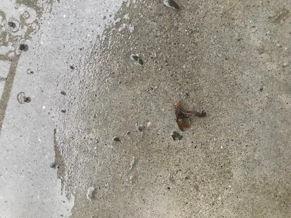 これは何の虫ですか? 主人がベランダで噛まれたのですが 何の虫が分からず対処の仕方が 分かりません。 どなた教えて頂けませんか。 よろしくお願いします。