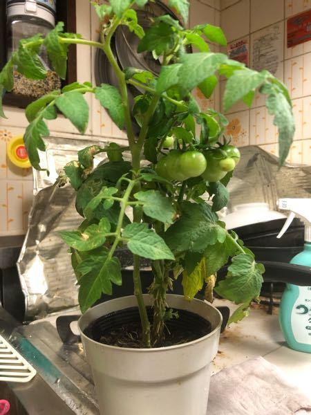 ミニトマトの苗を購入してきました。 この苗は元気でしょうか? もう今日は暗いので明日植え替えようと思ってます。 10号程の鉢植えを購入し、野菜の土等買ってきました。 あまり元気が無い気がするので、元気にするにはどうしたらいいでしょうか? 初心者ですので教えていただければと思います。
