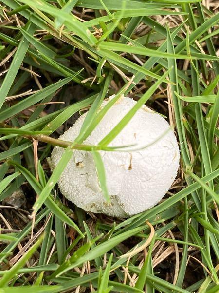 たまご、虫、自然に詳しい方 よろしくお願いします。 今日子供と近くの公園に行きました! 公園は芝生です! そこで芝生のあいだ?に たまごみたいなのを見つけました! 子供と観察してたのですが、 何のたまごかわかる方いらっしゃいますか? 大きさは3〜5センチくらいで たまごの表面は硬くなく、押したらペコっと 潰れる感じでした! 例えたら 紙風船みたいな感じです はじめは、キノコかな?と思って木の枝で動かしたのですが キノコではありませんでした! 子供も何のたまごか気になってるようです! よろしくお願いします!!
