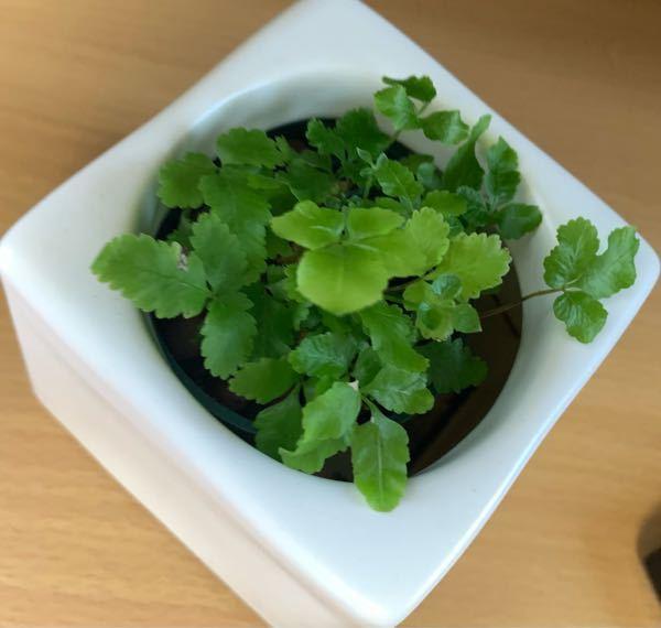 この観葉植物の名前はなんですか? 教えていただきたいです