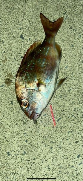 これ真鯛でしょうか、チダイでしょうか。