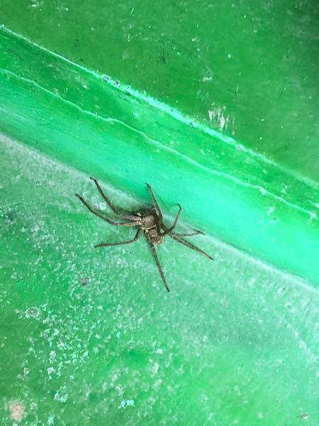 閲覧注意です。(クモ画像あり) 海の近くのトイレ(汚く、年季が入っている)を利用した際、ドアを開けたら天井?からボトッと音を立てて足元に落ちてきました。 尿が漏れそうだったのでクモが足元にいるのを放置しながら仕方なく用を足したのですがこのクモは毒がありますか?また、なんというクモなのでしょうか。どういう所で遭遇するのかも知りたいです。 かなり大きく手のひらサイズはありました。出くわした場合どうするのが良いでしょうか。 今回は水を流す音が聞こえた途端そそくさと逃げてしまいました。