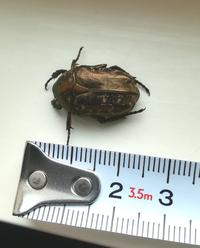 この虫はコガネムシですか?カナブンですか? ネットで調べてみましたが、いまいちよくわかりません。 頭は四角いような気がします。 ここ一週間くらいでベランダで3匹死骸を見つけました。 ベランダには植物の鉢が置いてあり、表面にコケが育っていました。 コケの表面はきれいだったのですが、この虫を見つけた頃から穴が開いたようにぼこぼこしてしまいました。 コガネムシだったら土中に卵をうんでいたら植物が枯...