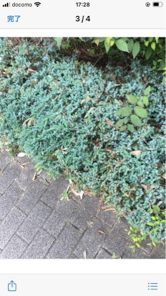 こちらの植物の名前わかる方いますか? ちひるいです。