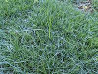 雑草でしょうか?芝生でしょうか? 芝(TM9)を張り替えて1ヶ月ですが、草丈の長い芝のようなのがポツポツでてきています。 これは雑草でしょうか? チガヤで荒れ放題だった庭を耕して80%くらいはチガヤの地下茎を掘り起こして芝を貼りました。 画像の芝のような葉は、地下茎から出ているものではないようで、簡単に引き抜けます。ただ、庭の隣には草丈1m以上もあるチガヤが密生しているので、種から発芽してい...