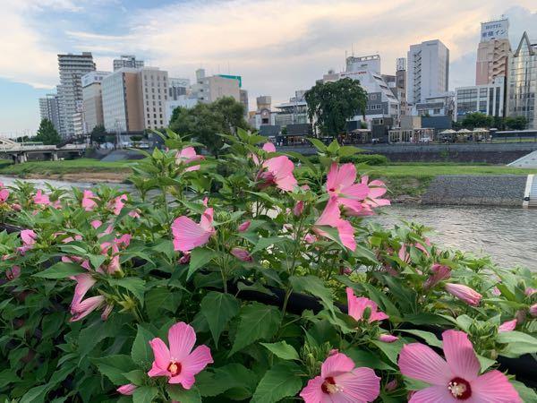 岩手は盛岡の北上川沿いに咲いてました。この花の名前はなんでしょうか?