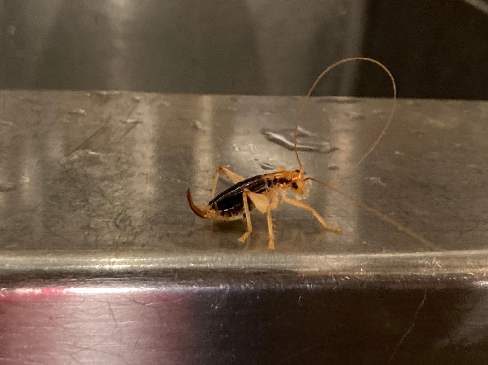 初めて見た虫の名前や種類が気になって仕方がないです。 脚がクリーム色に近い白色(乳白色?半透明のようにも思えました)で胴体が黒、お尻にサソリの様な針?棘?みたいな尻尾が生えてます。触覚が異様に長く4~5cm程、体長は2cmないくらいでした。 虫にお詳しい方、どうぞ教えてください。