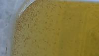メダカの飼育水でタマミジンコを培養してたらこんな生物が増殖しました。 タマミジンコとは違う感じがするのですが、これって何ですか?