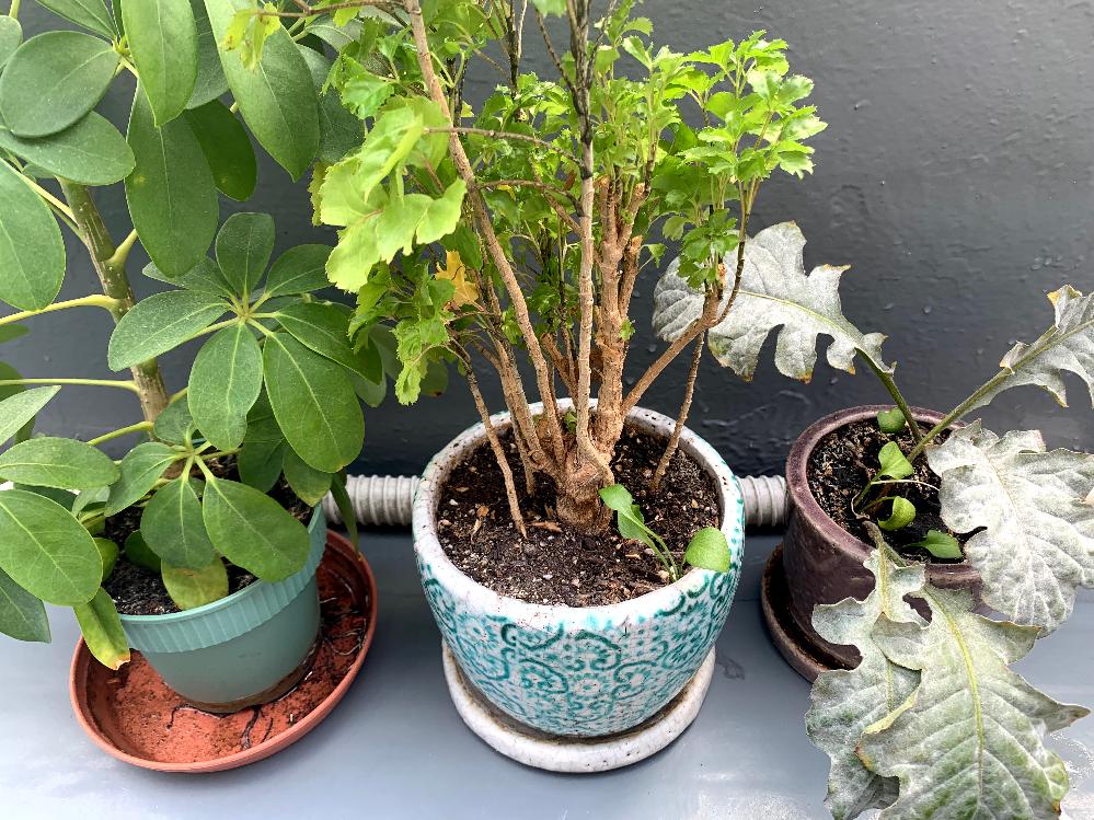 現在三種類の観葉植物を育てているのですが、画像の右二つの鉢に見慣れない植物が 育ってきました。3つの鉢は室内で育てているのですが左の鉢の植物が移ったのでしょうか?左の鉢のものは100均で買ったの...