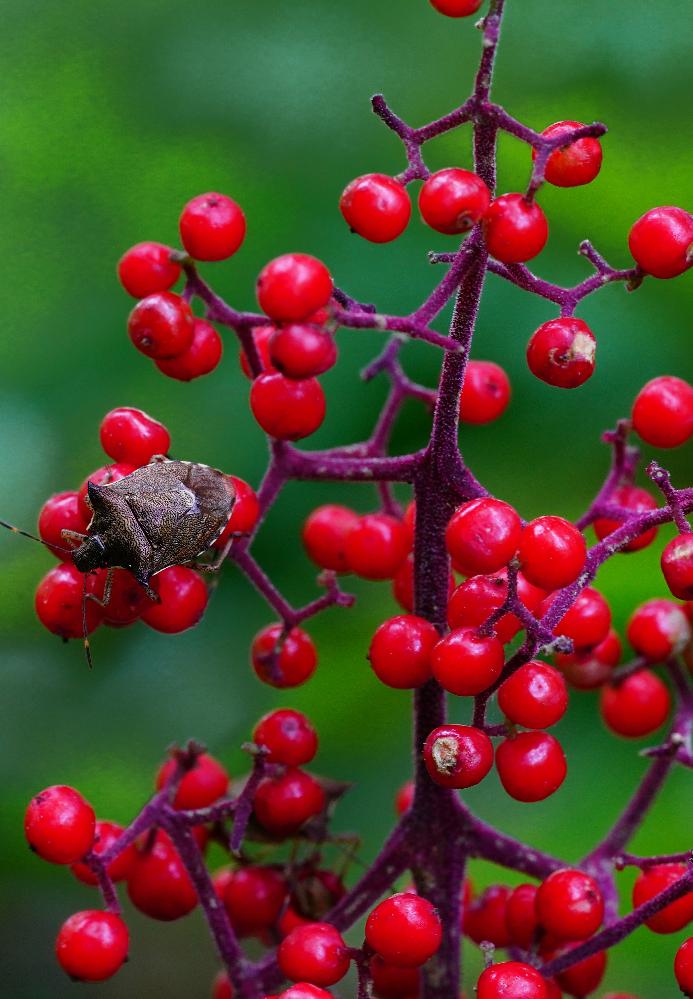 7月の下旬ですが、長野の森の中で赤い小さな実が成っていました。 何の実かわかる人がいたら教えてください。