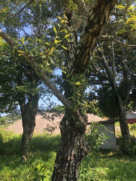 これってクヌギの木ですか?