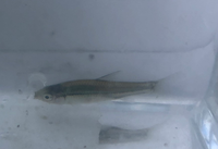 用水路で見つけました。 この魚の名前を教えてください。