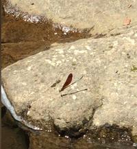 このトンボの名前をご存知の方はいらっしゃいますでしょうか。岐阜県高山市にある自然公園で見かけました。