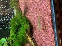 今日、川でとった魚ですが種類はなんでしょうか? 詳しい方、教えてくださいm(_ _)m