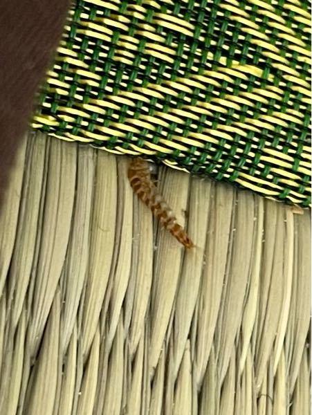 この虫なんですか?めっちゃキモいので何とかしたいです。この虫が居なくなるようにするにはどうしたら良いですか?部屋は和室です。画像は中身のない殻?のような感じです。