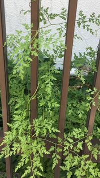 この植物の名前はなんでしょうか。 子供が自由研究で蔓性植物を調べています。ちょうど近所にこちらの植物が生えていたのですが、名前がわかりません.ご存知の方、是非教えてください!よろしくお願いします!