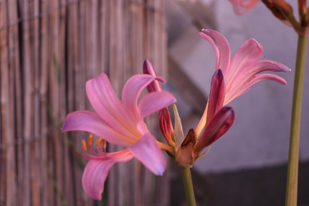 この花はヒガンバナでしょうか?
