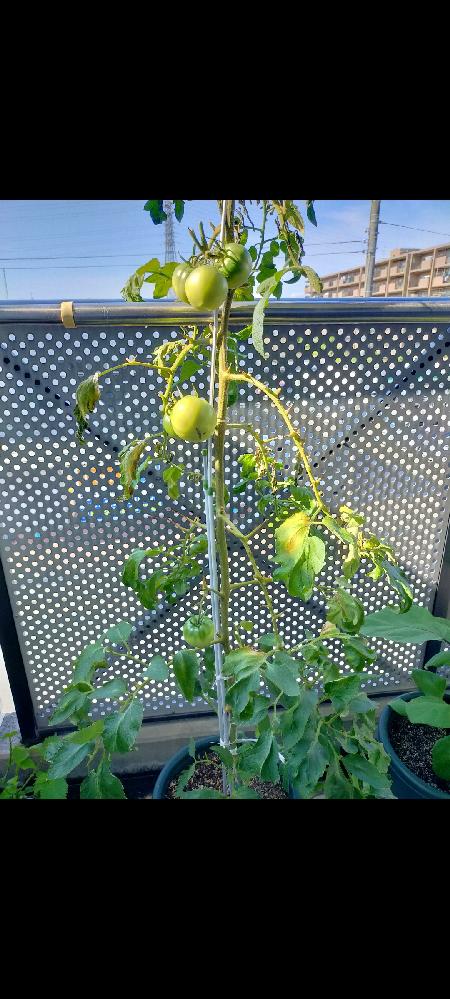 トマトは放っていても育つと周りは言いますが、一度も上手く育ったことがありません。今年もトマトの葉が枯れました。枯れ始めたタイミングで先端は切りました。実も随分前から成っているのですが赤くなりません。 水やりは感想具合を見て、1−2日に1度朝にやっています。素人感覚では日照不足なのかなと思っていますが、原因がお分かりの方教えてください。