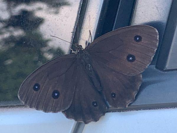 今日、初めて見ました。 この蝶は何という名前なんですか。