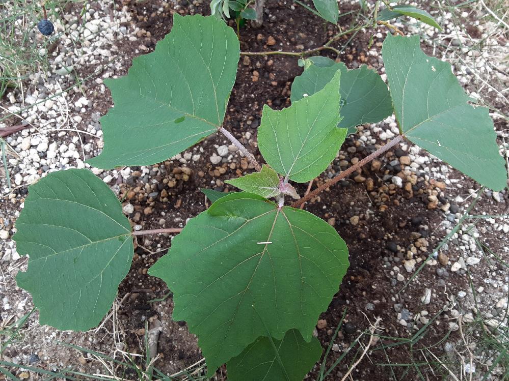家の庭にはえた植物が何なのかわかりません。近くに植えたのはひまわりとマリーゴールドなどの種なのですが、少し違うみたいです。何の植物かわかりますか?