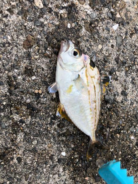 今日、釣った この魚 初めて見たんですけど??? ご存知の方いらっしゃいますか?