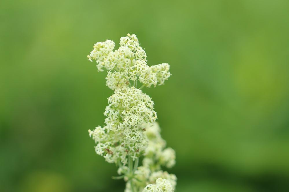 一昨日、標高1084メートルの湿地帯で見掛けた植物です。 山野草なのか、初見の植物で名前が分りません。 教えて下さい。