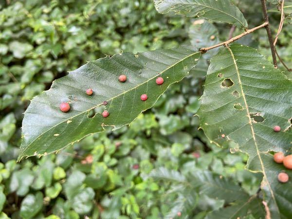 葉についたこの赤い点はなんですか?