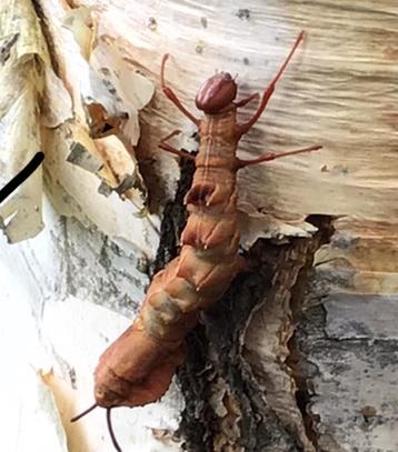写真の虫の名前を教えて下さい。 調べても分りませんでした。画像検索では、はさみ虫が出てきましたが、何か違うような気がします。よろしくお願いします。