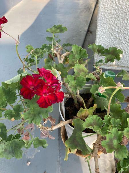 ゼラニウム(花)の夏越しについて 園芸初心者です。 7月前半までよく花をつけていたゼラニウム(カリオペ)ですが、今はほぼ花はなくなり(残るは画像のしおれかけ)、もう蕾もありません。 葉も茶色く枯れている部分も出てきています。 ベランダで育てていますが、調べると日除けをすべき・涼しいところに置くべきと書いてあるサイトもあれば、耐陰性に弱い・対暑性にも強いと書いてあるサイトもあります。 何がベターか知りたいです。 また、このゼラニウムは秋にまた花をつけることはできるのでしょうか。