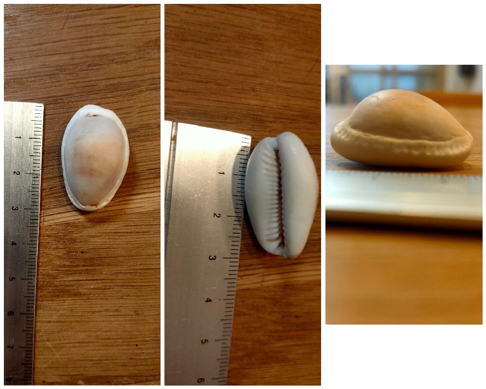 この貝殻は何でしょうか? タカラガイの1種だろうと、図鑑等で調べているのですが、分かりません。 どなたか詳しい方、教えて下さい。