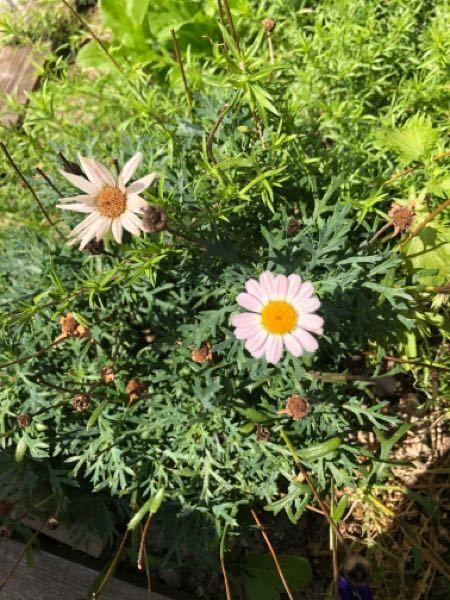 すみません、この花の名前を教えてください。 子供がホームセンターで買ったんですが名前を忘れてしまいました(´;ω;`)