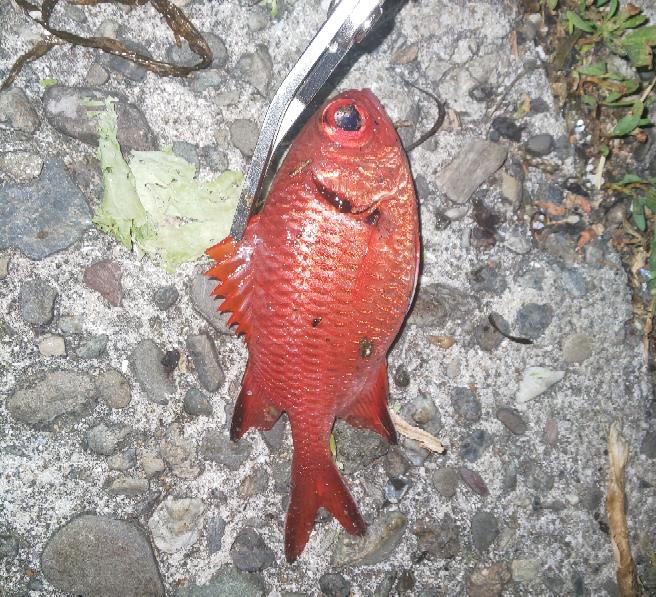 この魚何ですかね? 千葉県勝浦市の港?堤防?で釣れました