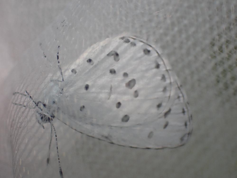 画像の昆虫は何でしょうか。サツマシジミでしょうか。