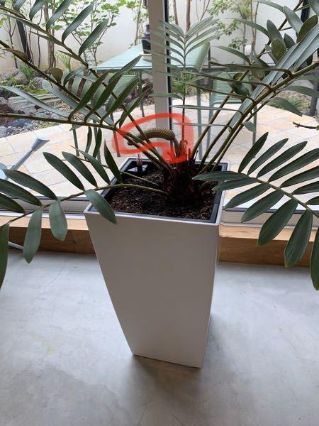この植物はなんという植物でしょうか。 また、赤く丸のついている部分はなんなのでしょうか、、、。 2から3日前までは元気だったのですが、急に元気がなくなりました、、。 どうすれば良いのでしょうか、、、。 宜しくお願い致します。